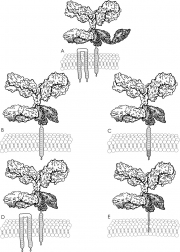 Human IgG Interaction With Human FcR Gamma Chain