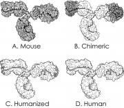 Mouse Vs Chimeric Vs Humanized Vs Human Monoclonal Antibodies