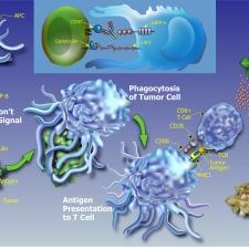 Proposed Innate Immunity MOA for Anti-CD47 Antibodies
